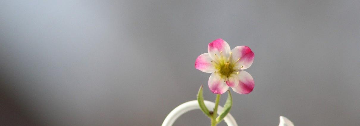 Blume in der Giesskanne